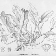 Disegno botanico della variet� di philodendron cannaefolium