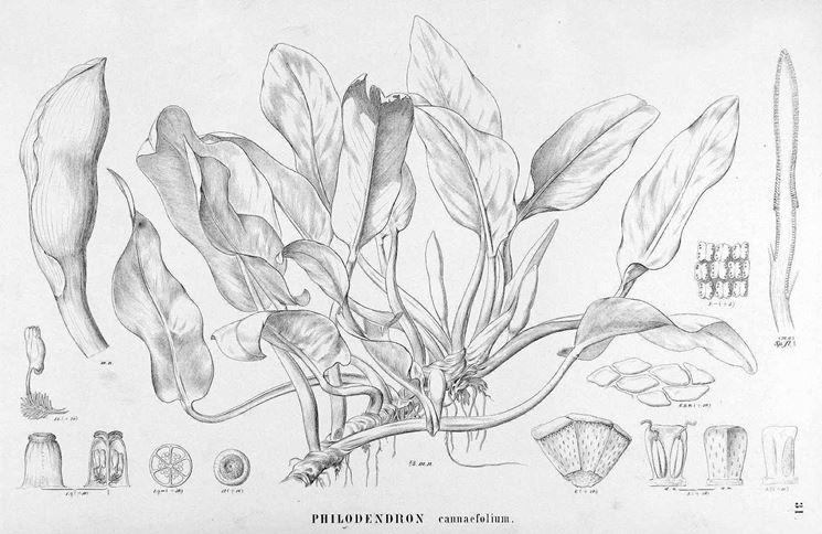 Disegno botanico della varietà di philodendron cannaefolium