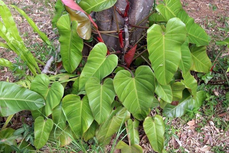 Esemplare di Philodendron Erubescens