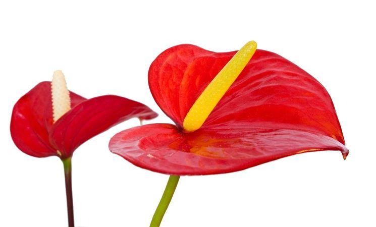 Un esempio di fiore di anthurium