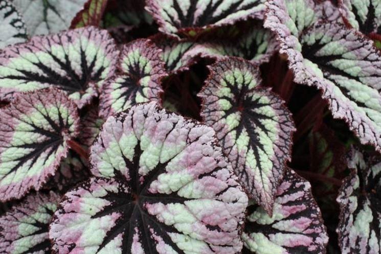 Begonia Rex