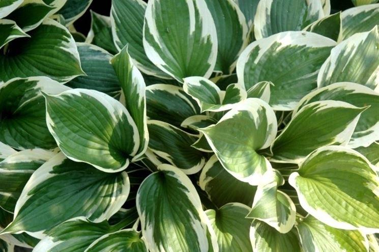 Foglie verdi piante appartamento foglie verdi appartamento for Piante da frutta nane prezzi