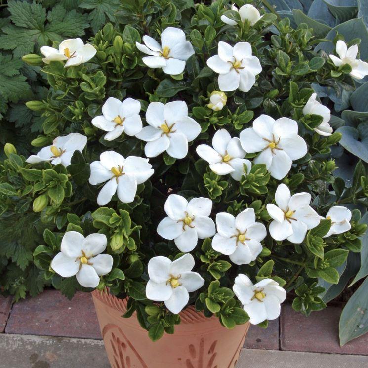 Gardenie in vaso