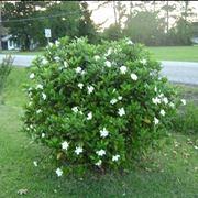 Un cespuglio di gardenia