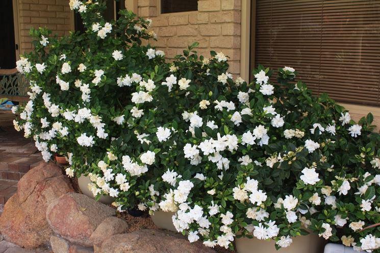 Un'aiuola di gardenia