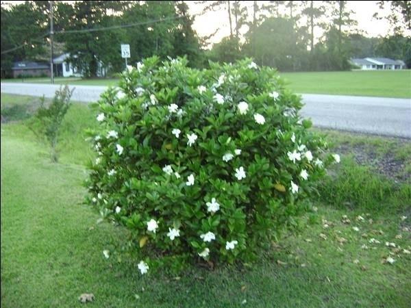 Beautiful Un Cespuglio Di Gardenia