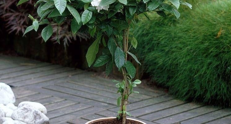 Gardenia jasminoides in vaso