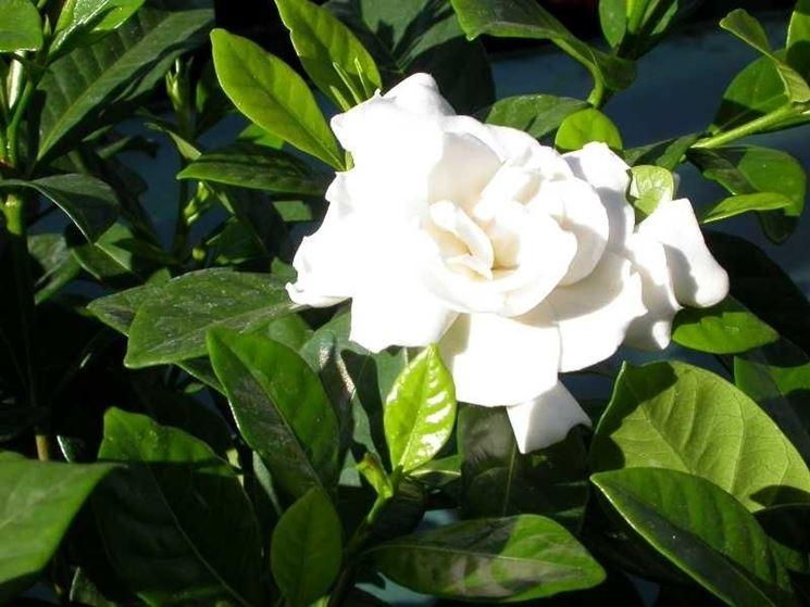 Esemplare di gardenia jasminoides
