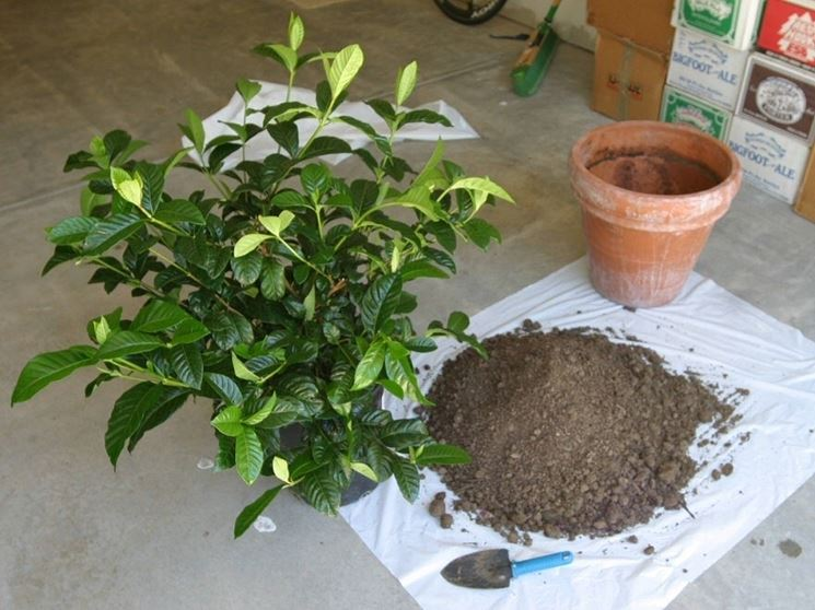 Rinvaso di gardenia jasminoides