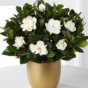 gardenia1_zps26eeae92