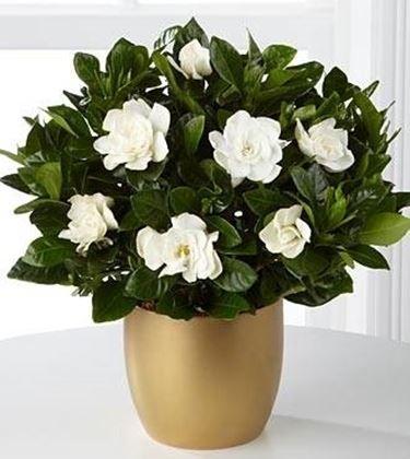 Gardenia piante appartamento coltivazione gardenia - Gardenia pianta da giardino ...