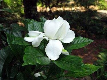 gardenia2_zps3e5059e4