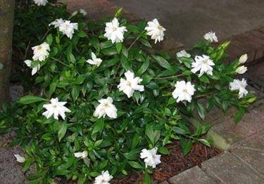 gardenia4_zps2b34221a
