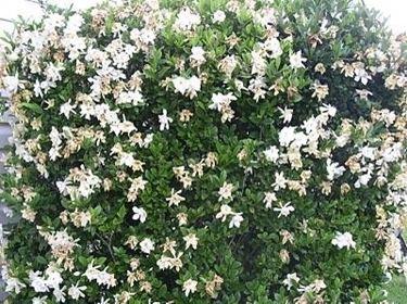 gardenia3_zps67339cdf