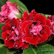 Fiori pianta Gloxina