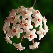 Fiori di Hoya carnosa