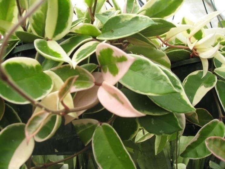 Fogliame di Hoya carnosa variegata