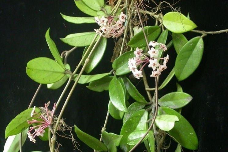 Foglie e fiori di Hoya carnosa