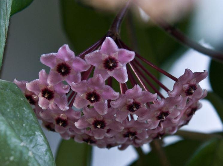 Hoya piante appartamento pianta fiori cera for Pianta di cera