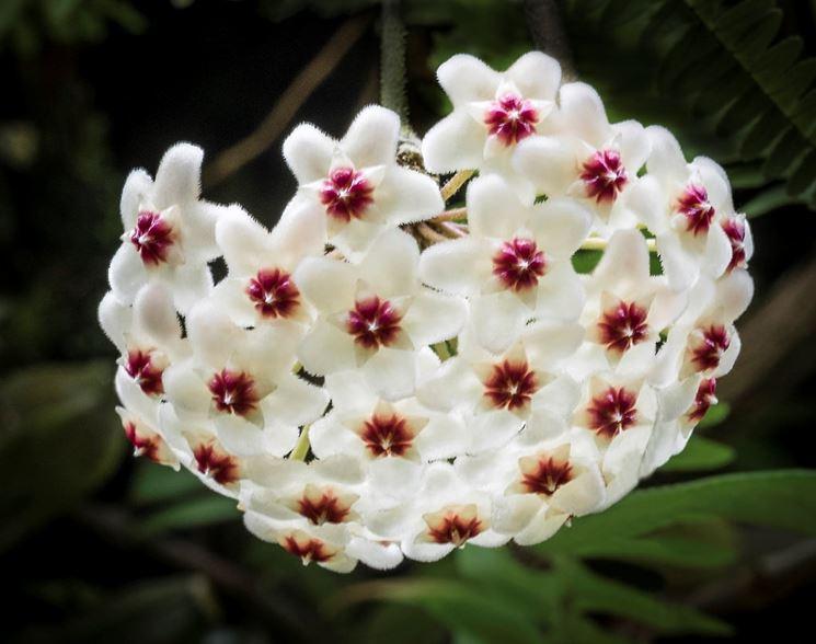 Fiore cera