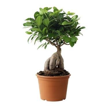 Ficus ginseng di notevoli dimensioni