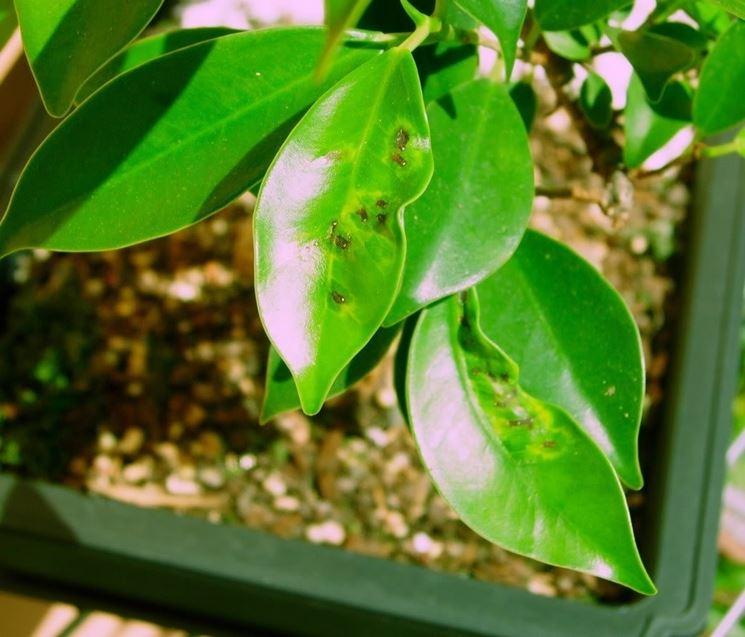 Foglie opache e macchiatte sono spesso sintomo di marciume radicale