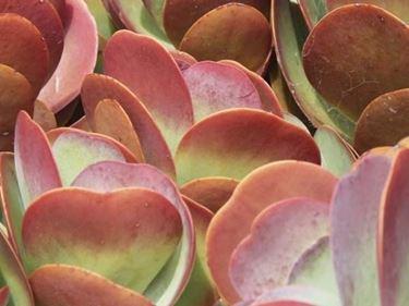 Particolare delle foglie di kalanchoe