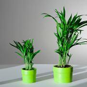 piante di kentia in vaso