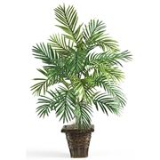 kentia pianta