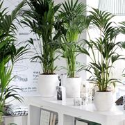 Kentia piante