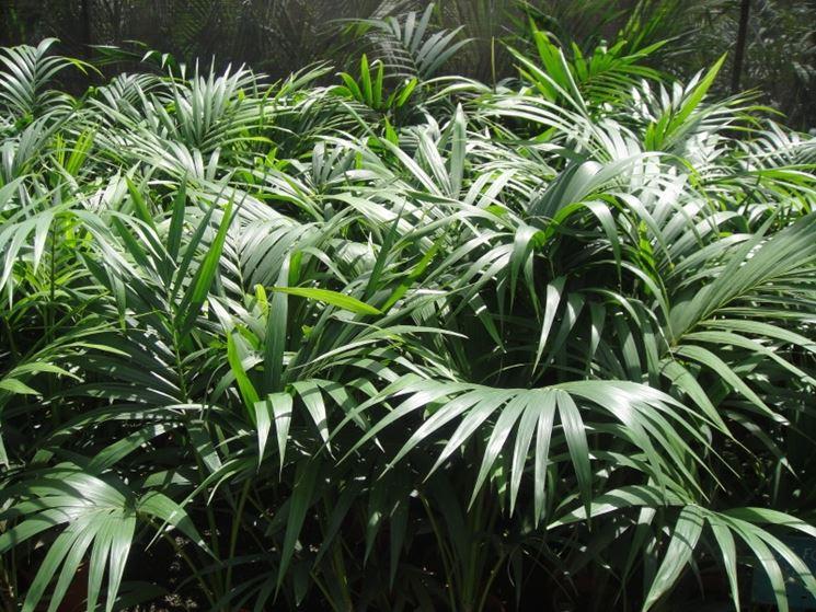 Kentia piante appartamento coltivare la kentia for Kentia pianta