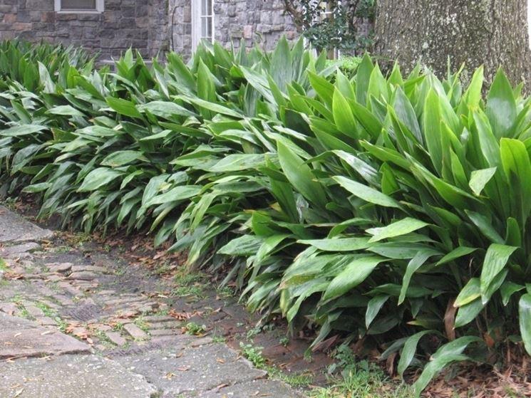L 39 aspidistra piante appartamento coltivare aspidistra for Tillandsia prezzo