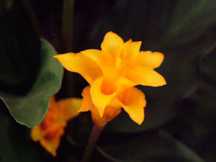 Calathea fiore