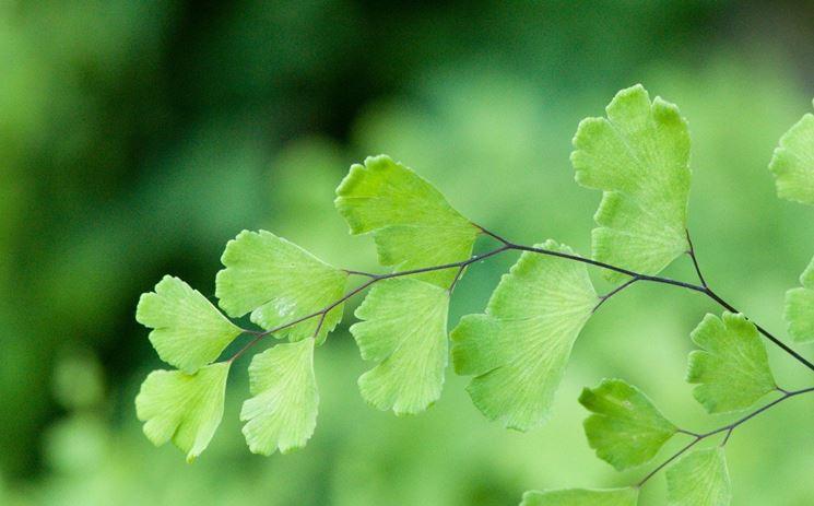 Rami pianta Capelvenere