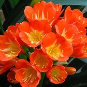 pianta clivia