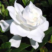 Gardenia pianta in fiore