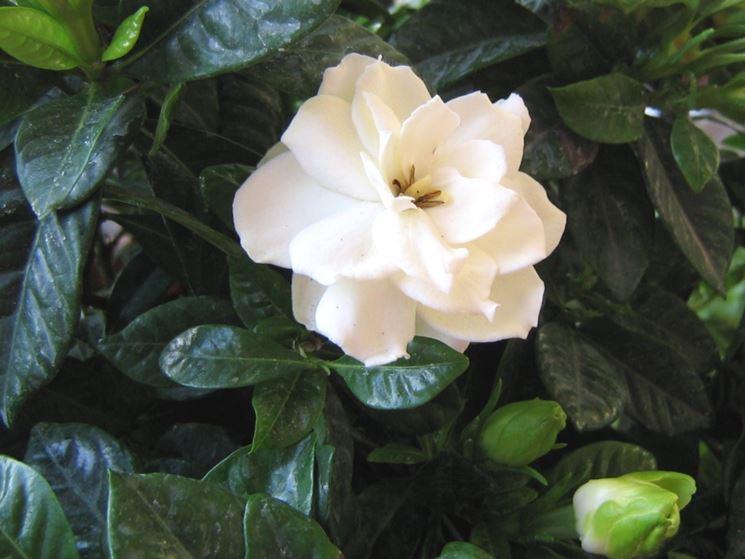 Foglie e fiori di Gardenia