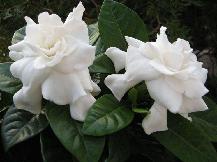 Fiori e foglie di Gardenia