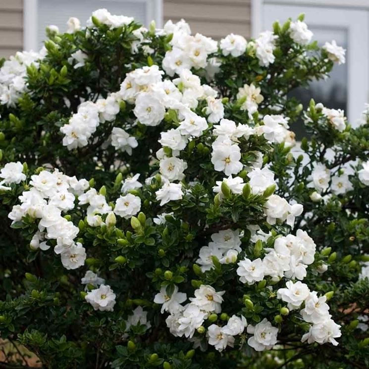 Cespuglio di Gardenia jasminoide