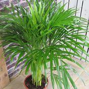 Piante da appartamento piante appartamento cura piante for Pianta kenzia