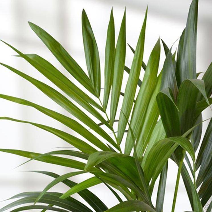 foglie kenzia