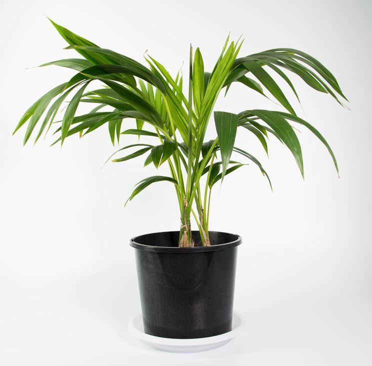 kenzia in vaso