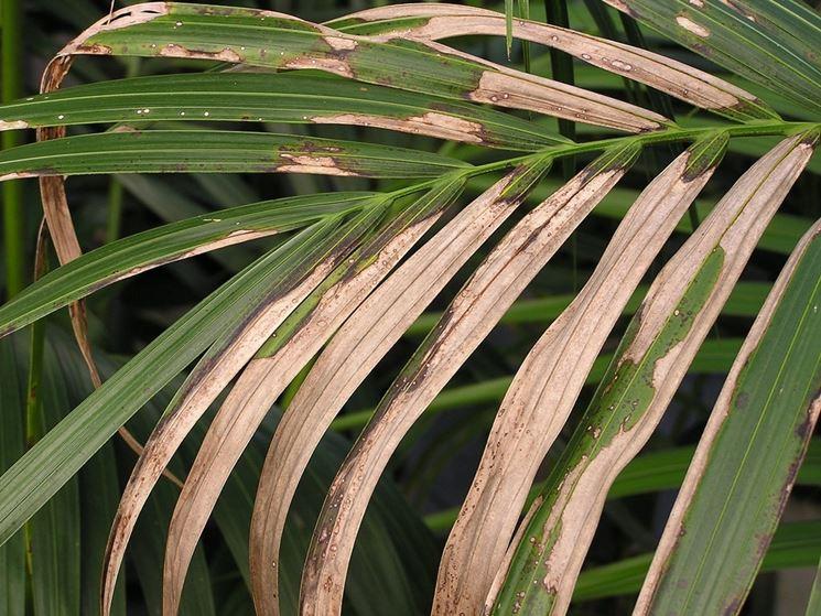 Ingiallimento foglie di kenzia