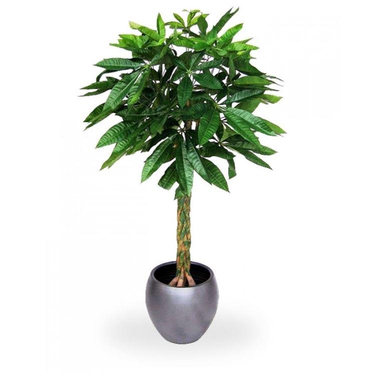 La pachira piante appartamento coltivare pachira for Piante secche ornamentali