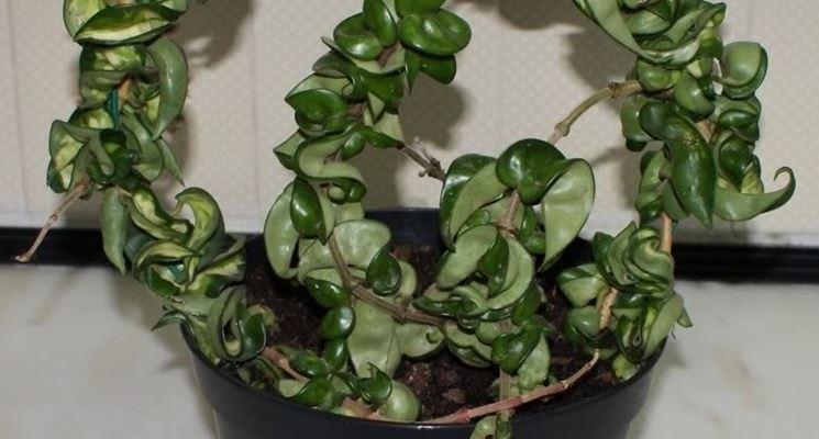 Giovane <em>pianta dai fiori di cera</em> in vaso