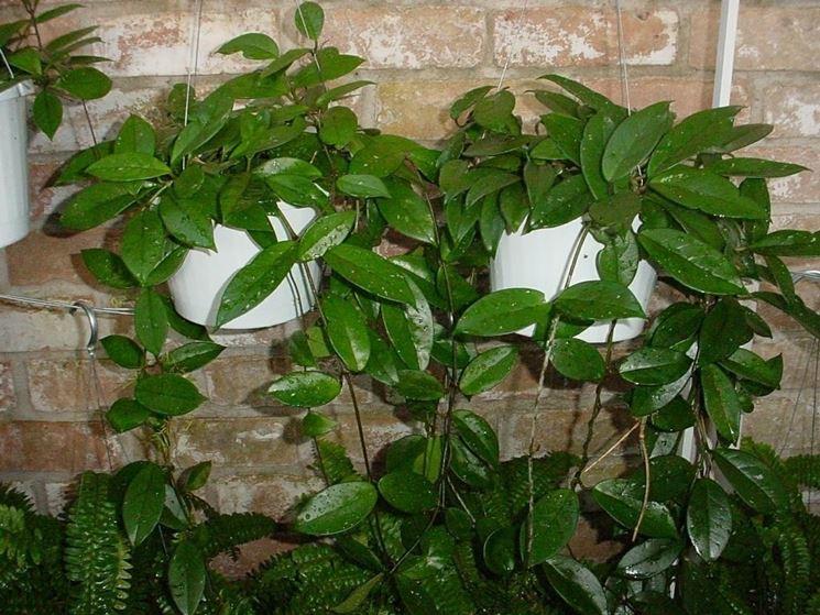 La pianta dai fiori di cera - Piante appartamento - Pianta dai fiori di cera