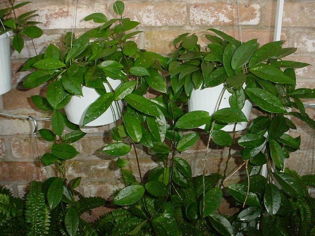 la pianta dai fiori di cera piante appartamento pianta