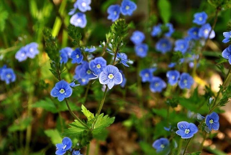 La comune Veronica chamaedrys