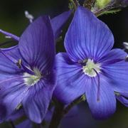 pianta veronica