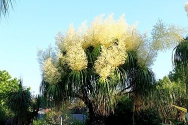 Beaucarnea fiore